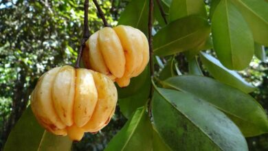 Photo of Premium Pure Garcinia Review: How Safe And Effective Is This Product?